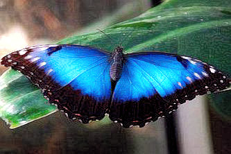 Malachite (open wings)